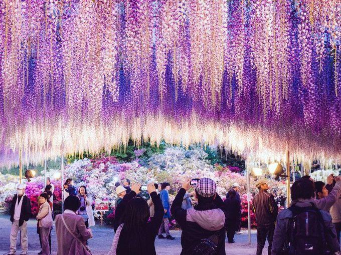 Ngoài ra, du khách có thể chiêm ngưỡng mùa hoa này tại các địa điểm nổi tiếng khác của Nhật Bản, như công viên Tennogawa (thành phố Tsushima, tỉnh Aichi), công viên Shirai Omachi Fuji (thành phố Asago, tỉnh Hyōgo) và đền Kameido Tenjin (khu Koto, Tokyo).