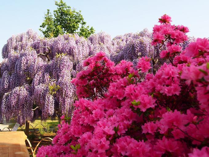 Hoa viên Ashikaga (tọa lạc tại 607, Hasamacho, thành phố Ashikaga-shi, tỉnh Tochigi) trồng các loài hoa nở suốt bốn mùa như mẫu đơn, đỗ quyên đỏ, hoa hồng hay tú cầu. Nhưng nổi tiếng nhất là hoa tử đằng với lễ hội hoa được tổ chức từ trung tuần tháng 4 đến trung tuần tháng 5 hàng năm.