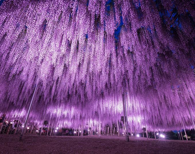 """Hoa tử đằng (còn gọi là fuji) có nhiều sắc độ, từ xanh dương, hồng đến trắng, vàng, phổ biến nhất là màu tím. Tại Ashikaga trồng khoảng 350 gốc dây leo hoa tử đằng tạo nên """"đường hầm hoa"""" đẹp mắt, trong đó có một gốc cổ thụ gần 150 năm tuổi.  Đặc biệt, du khách có thể ch"""