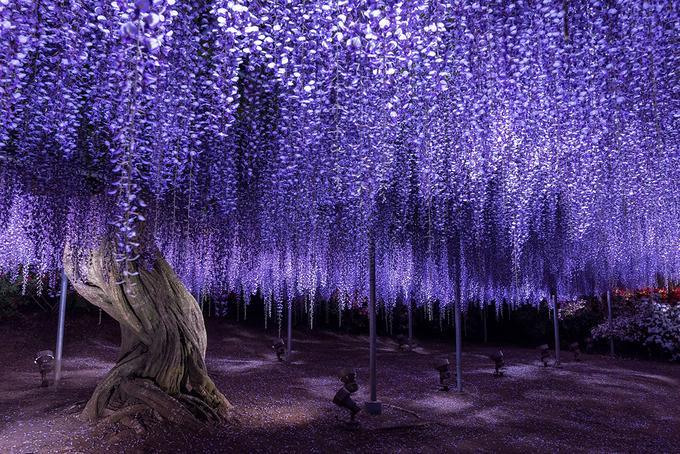 Những dàn tử đằng xếp tầng khoe sắc đẹp tựa trong những khung hình cổ tích. Với người Nhật, hoa fuji mang ý nghĩa tình yêu bất diệt, vì rễ cây bám sâu và chắc, là đề tài được đưa vào thơ ca, nhạc họa.