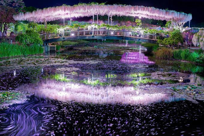 """Những công nhân trồng hoa mất nhiều thời gian tạo """"đường hầm hoa tử đằng"""" trải dài gần 100 m, tạo dáng cho cây để leo cao đến 20 m khỏi mặt đất và lan rộng trên 10 m theo chiều ngang. Khi hoa nở rủ xuống thành chùm dày tím biếc."""
