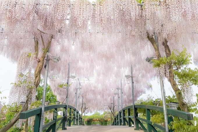 Giàn hoa tử đằng màu trắng khoe sắc bên cầu tại hoa viên Ashikaga. CNN từng chọn hoa viên này nằm trong top 10 điểm đến đáng mơ ước năm 2014 với đặc sản mùa hoa tử đằng.