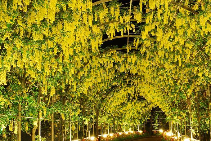 Những chùm dây hoa tử đằng màu vàng tại hoa viên Ashikaga. Trong khuôn viên vườn có các khu thương mại dịch vụ như nhà hàng và quầy lưu niệm. Du khách có thể mua hoa về trang trí trong gia đình hoặc làm quà biếu tại các quầy bán hoa.