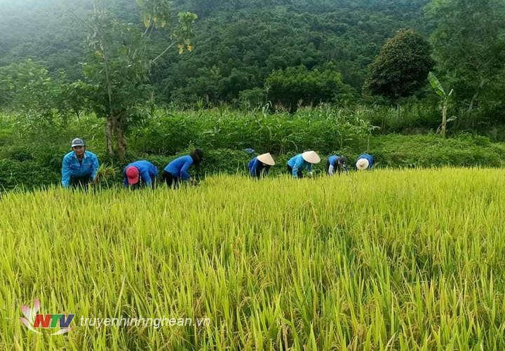 Đoàn viên thanh niên xã Đồng Văn giúp dân thu hoạch lúa.