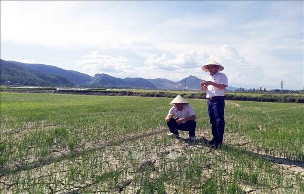 Nhiều diện tích lúa tại các địa phương trên địa bàn tỉnh Nghệ An đang có nguy cơ chết khô do nắng nắng hạn kéo dài.