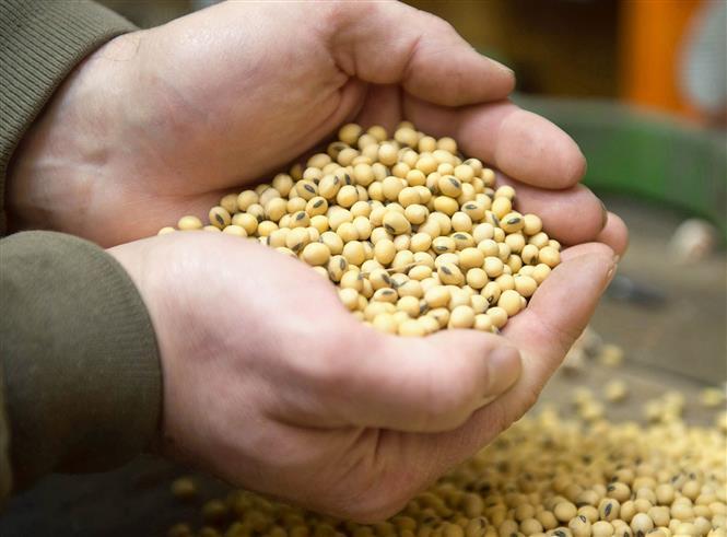 Đậu nành được thu hoạch tại một nông trại ở bang Iowa, Mỹ.