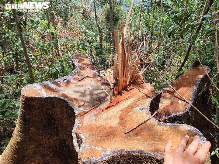 Khi phóng viên có mặt tại đây, nhiều cây gỗ đường kính tới 1m bị cưa đổ, nằm ngổn ngang chờ vận chuyển ra ngoài.