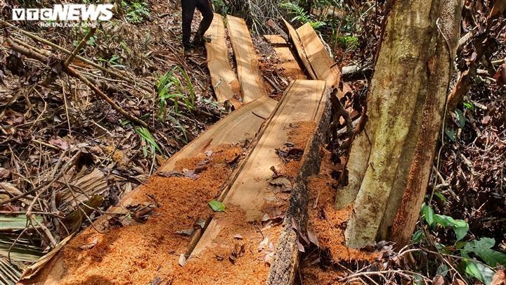 Ngoài ra, trên mặt đất có một số lóng gỗ lớn lâm tặc chưa kịp vận chuyển ra khỏi rừng, vết nhựa cho thấy chúng còn rất mới