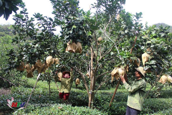 Nông dân Con Cuông trồng xen canh cây bưởi trên đất trồng cây chè.