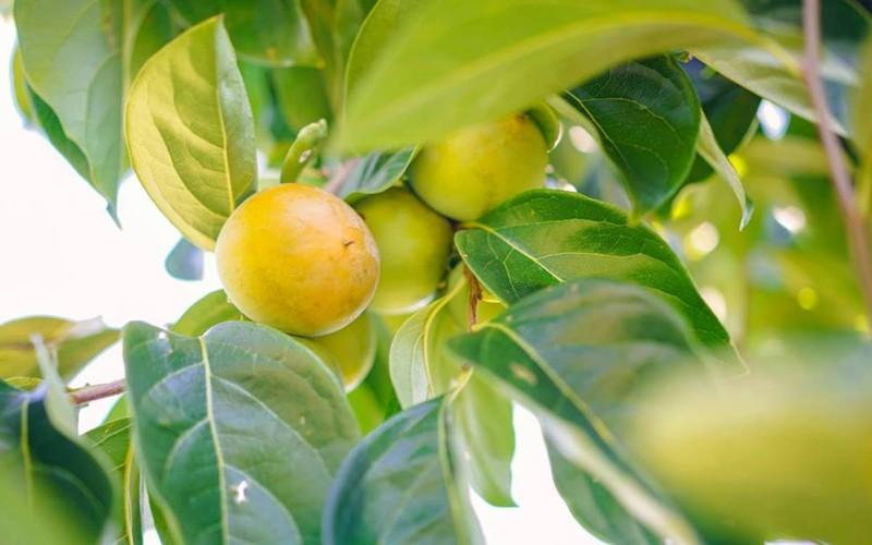 Tăng chuyển hóa: Hồng có chứa một số thành phần của vitamin B phức, chẳng hạn như piridoksamin, axit folic (vitamin B9) và thiamin hỗ trợ quá trình trao đổi chất của toàn bộ cơ thể.