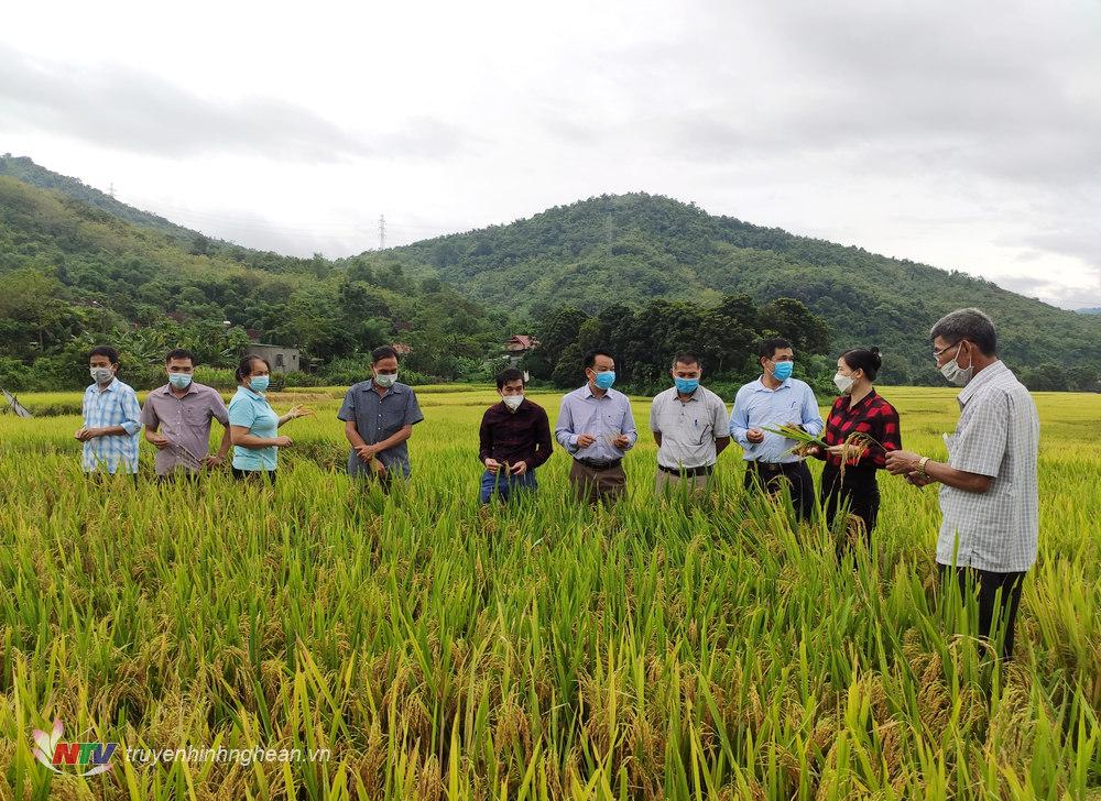 Các đại biểu tham quan mô hình trồng lúa NA6 tại bản Lũng xã Tam Thái.