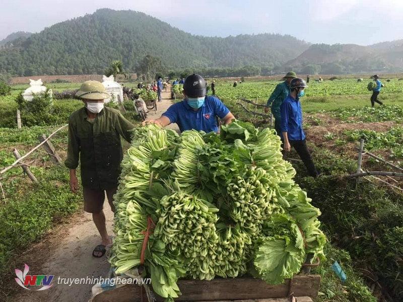 Tuổi trẻ Nghi Lộc hỗ trợ nông dân địa phương thu hoạch rau xanh, xuất bán.