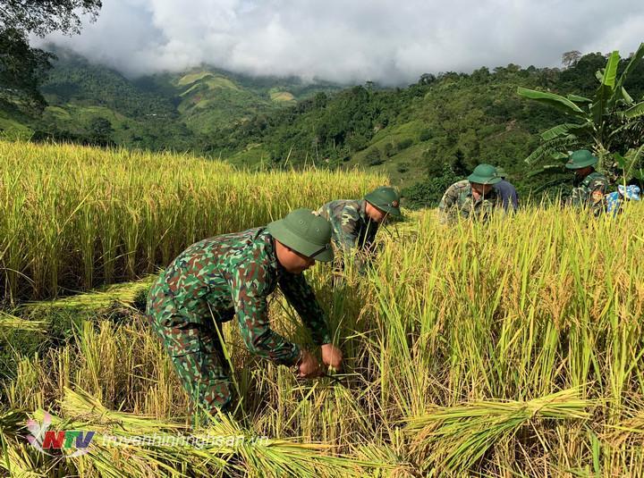 Hàng chục tổ công tác của các Đồn BP giúp các hộ gia đình có hoàn cảnh khó khăn, neo người thu hoạch lúa chín