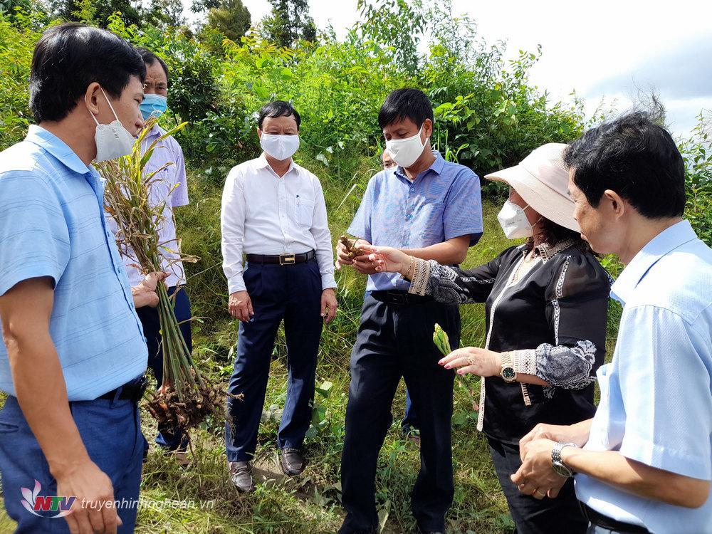 Các thành viên kiểm tra mô hình áp dựng tiến bộ khoa học kỹ thuật vào trồng gừng ở xã Huồi Tụ Kỳ Sơn