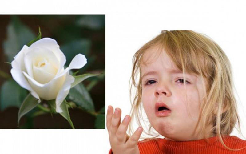 Hoa hồng bạch chữa ho hiệu quả: Lấy cánh hoa hồng bạch rửa sạch trộn với một ít đường phèn, cộng với một ít nước lọc, đem hấp cách thủy. Cho bé uống mỗi lần 1 thìa, mỗi ngày từ 3 đến 4 lần