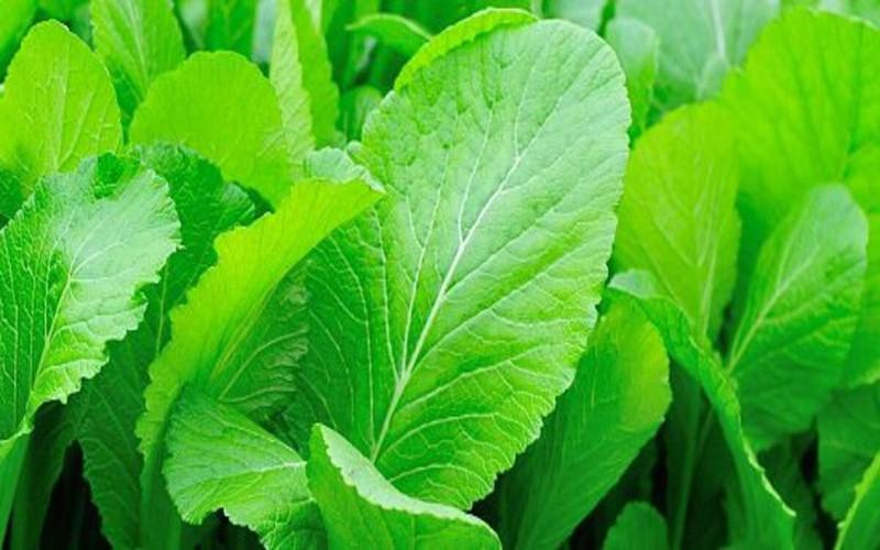 Rau cải bẹ xanh giúp hạn chế tiết dịch vị ở người bệnh trào ngược dạ dày với các thành phần dinh dưỡng chứa vitamin A, B, C, K, axit nicotinic, chất xơ…