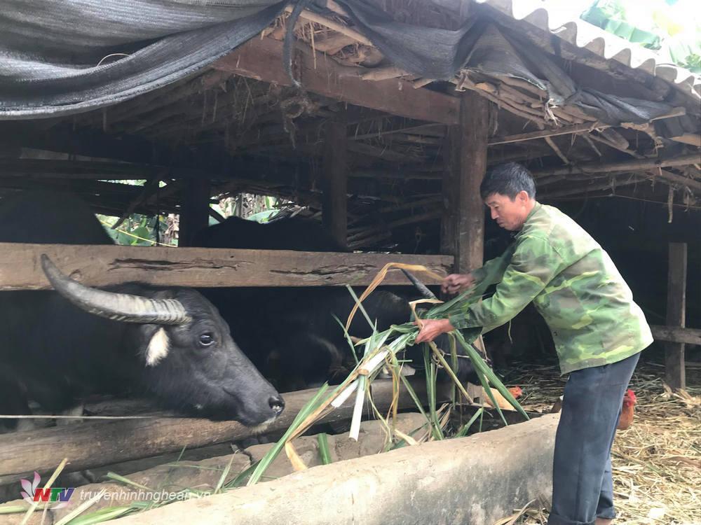 Người dân Nghĩa Đàn chăm sóc gia súc trong mùa lạnh.