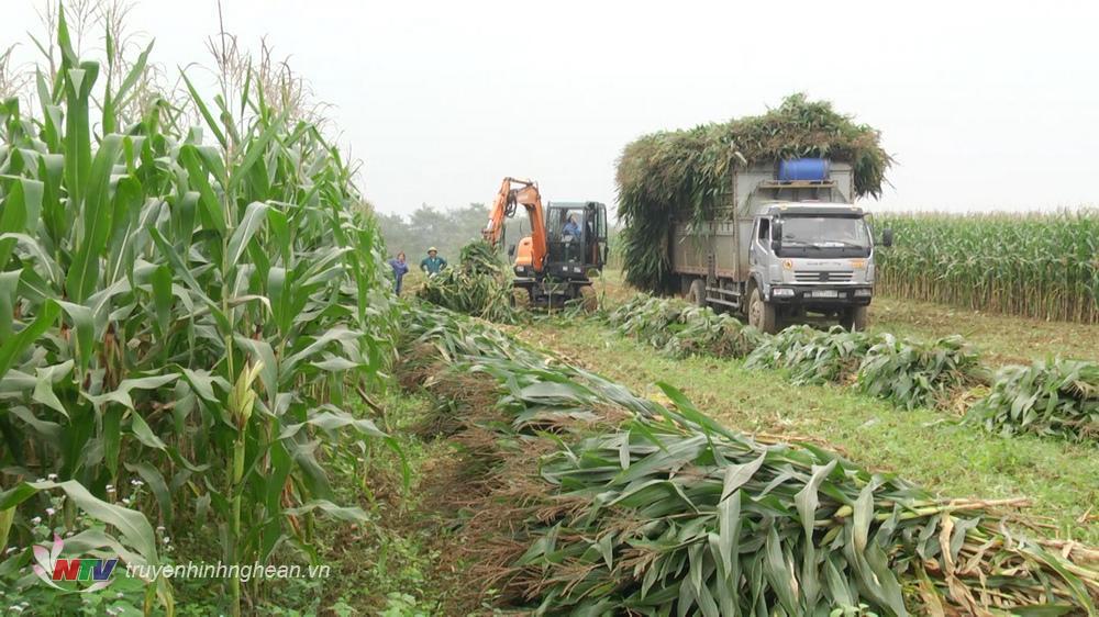 nhiều nông dân Nghĩa Đàn đã có thu nhập khá từ trồng ngô làm thức ăn cho gia súc