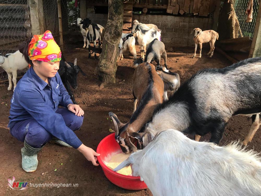 Bổ sung tinh bột để tăng khả năng chống rét cho đàn gia súc trong những ngày thời tiết lạnh giá.
