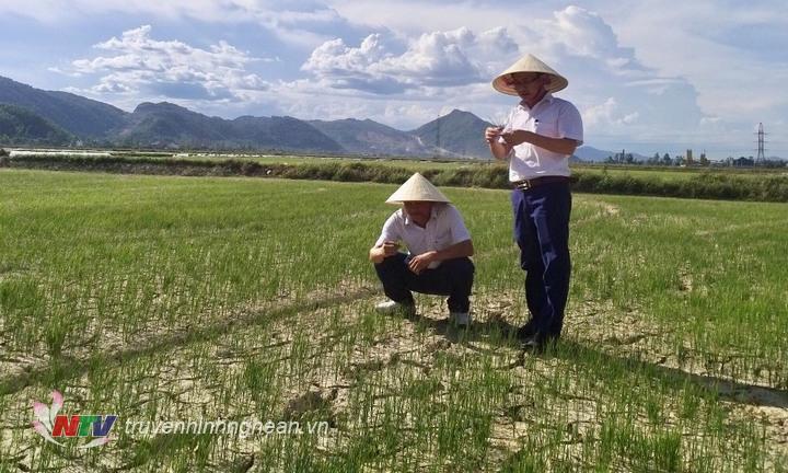 Thời tiết nắng nóng kéo dài làm nheieuf diện tích cây trồng bị khô hạn.
